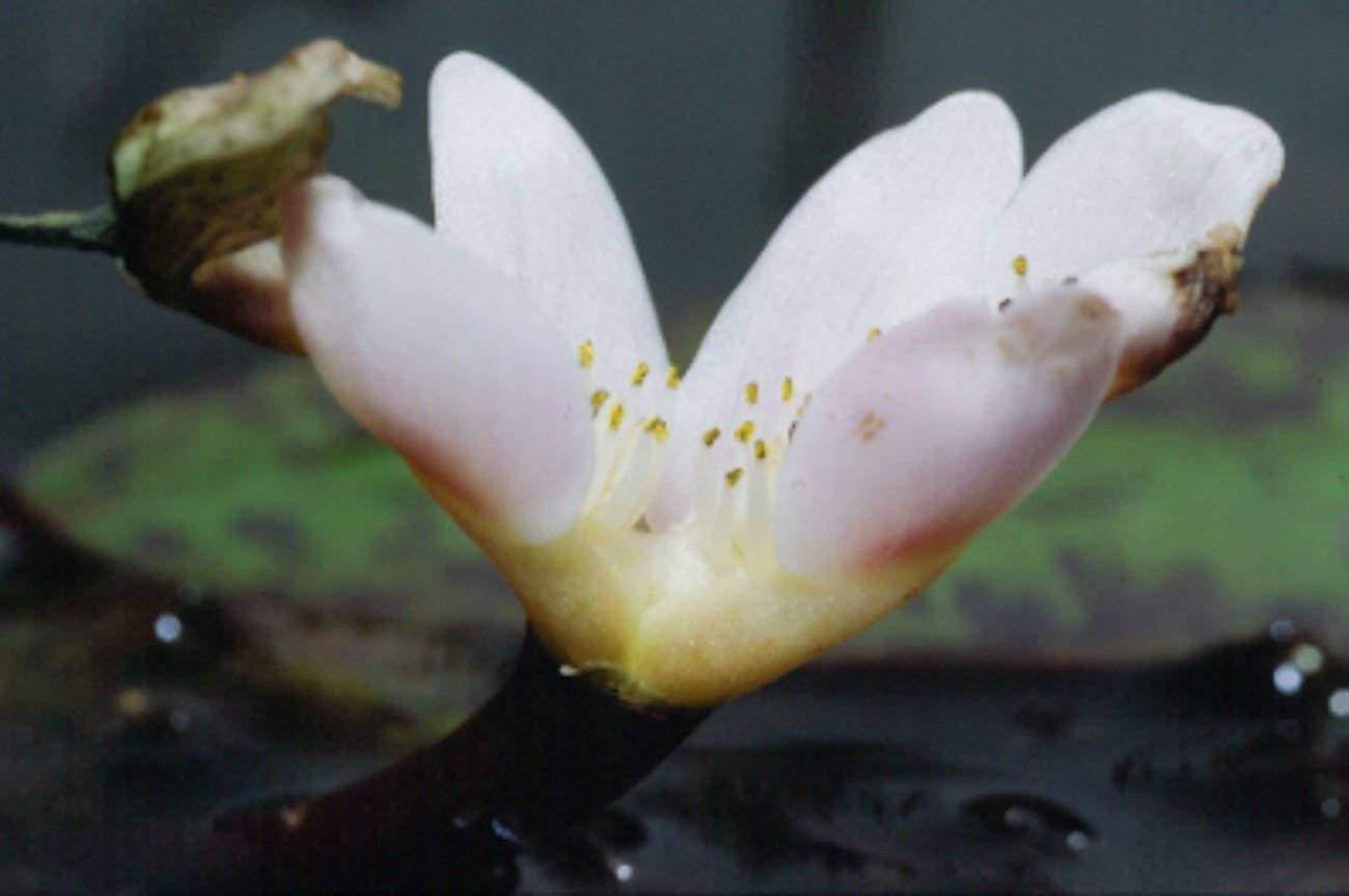 aponogeton distachyos bloem