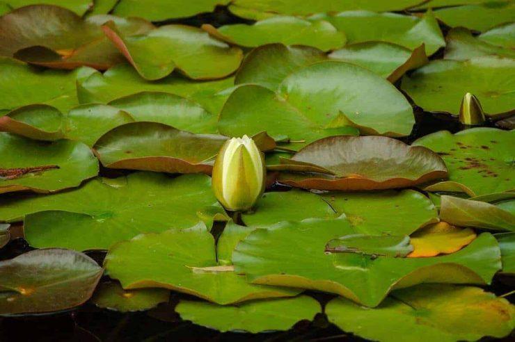 waterlelie bloemknop