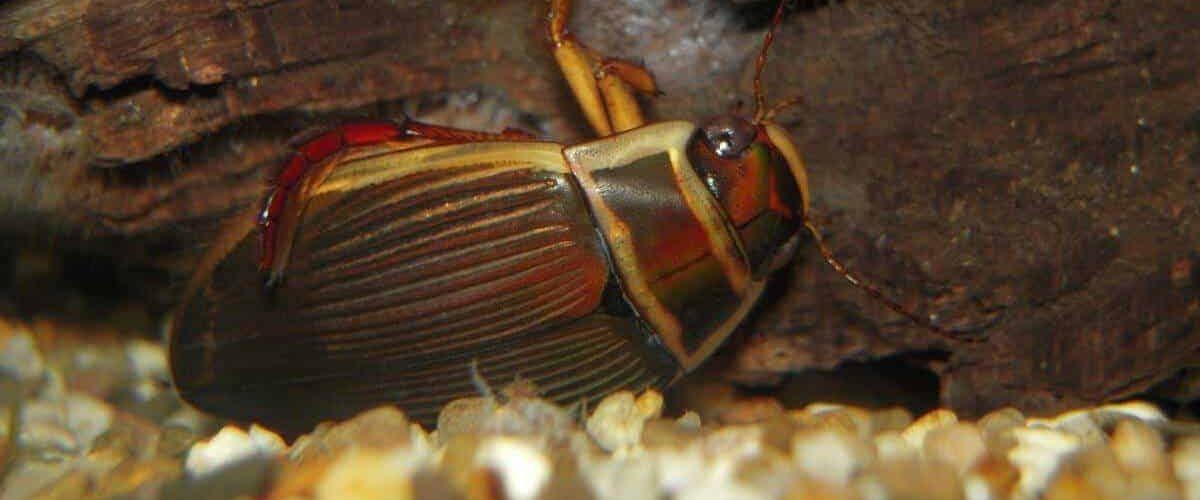Dytiscus marginalis 2 Geelgerande waterkever Saxifraga Al Vrezec