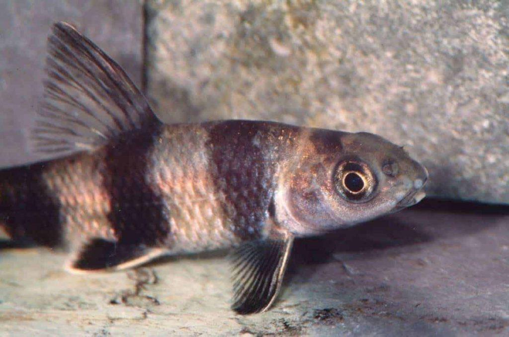 Sarcocheilichthys-sinensis