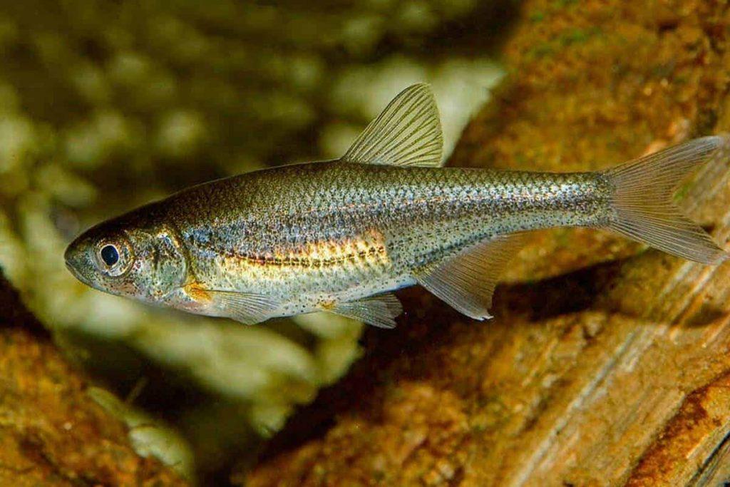 alburnoides_bipunctatus