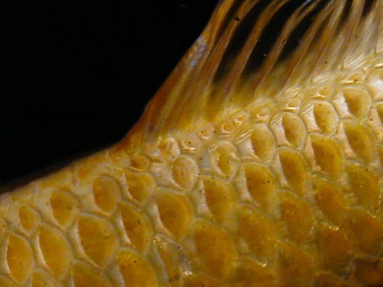huid vis