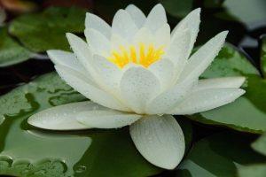 Waterlelie tips voor de mooiste resultaten