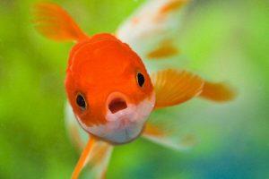 Geschiedenis van de goudvis