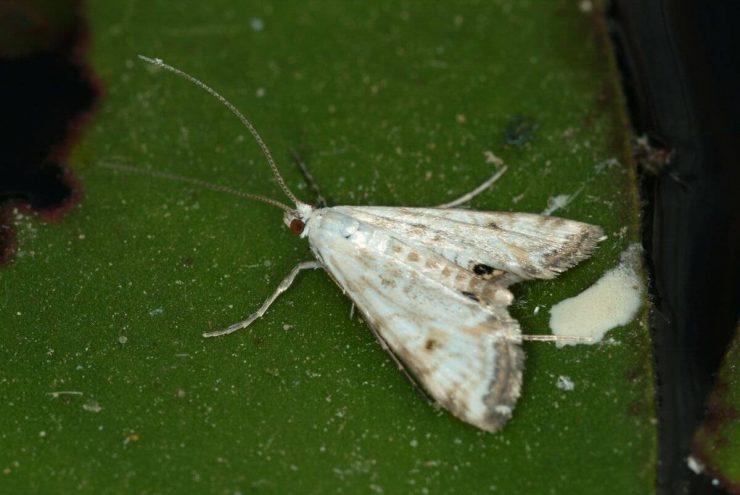 Cataclysta lemnata1