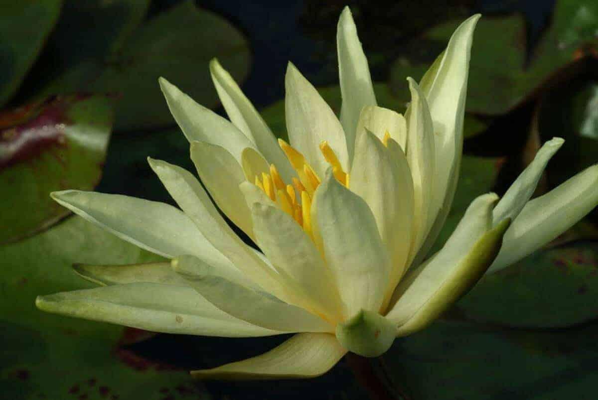 Gele waterlelie nymphaea col a j welch