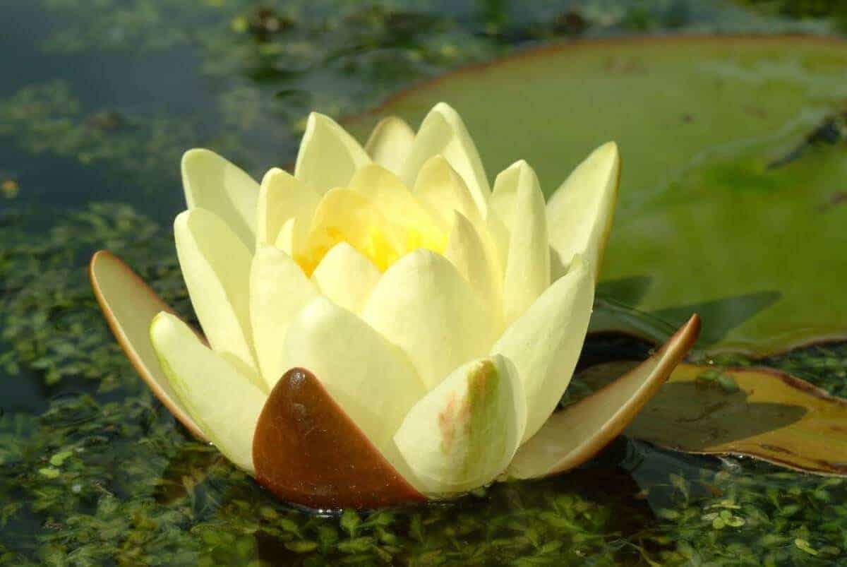 Gele waterlelie nymphaea moorei