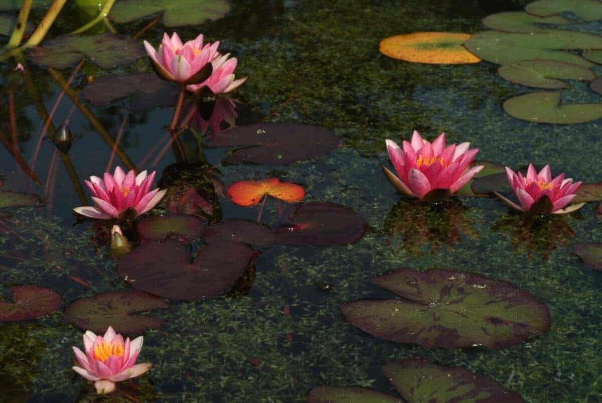 Roze waterlelie nymphaea joann pring