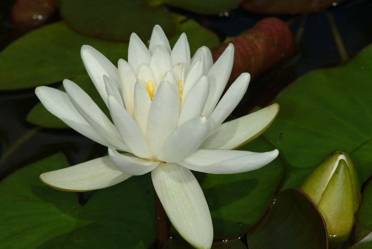 Nymphaea Odorata