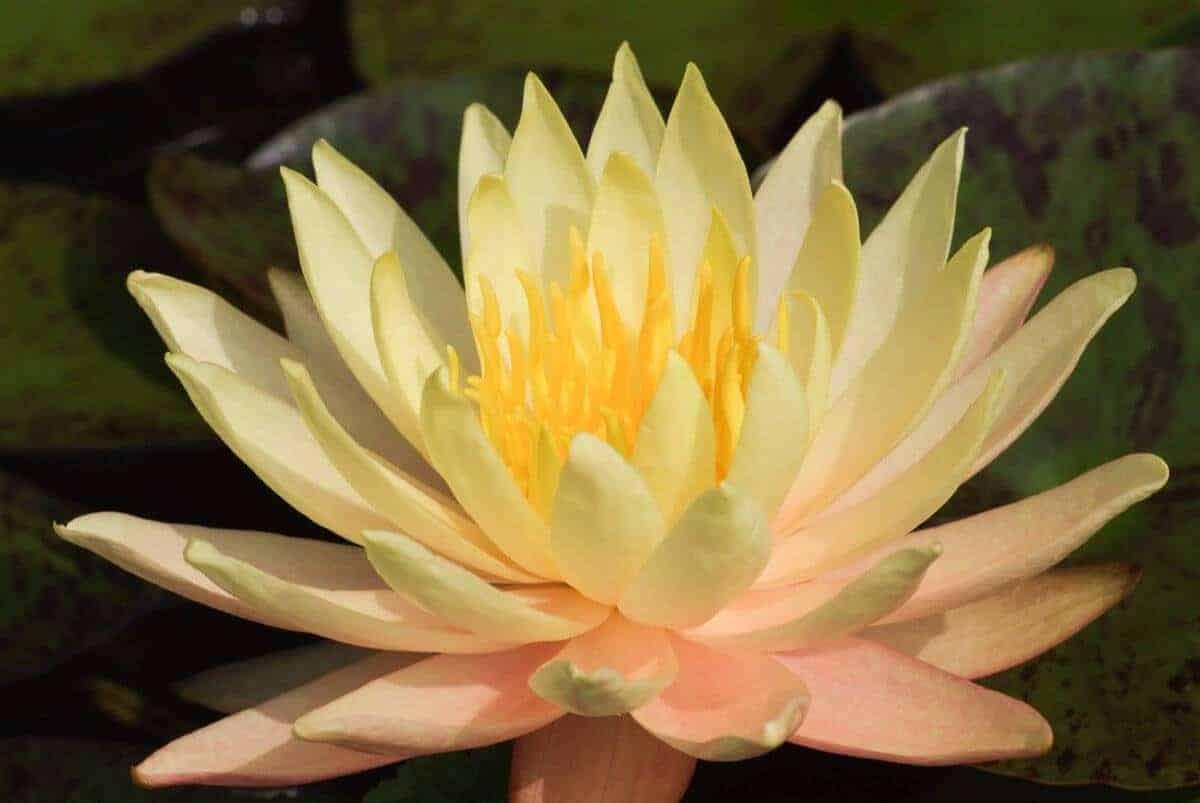 Gele waterlelie nymphaea texas dawn