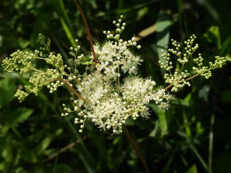 Filipendula ulmaria flowers