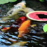 Zo leer je je koi watermeloen eten