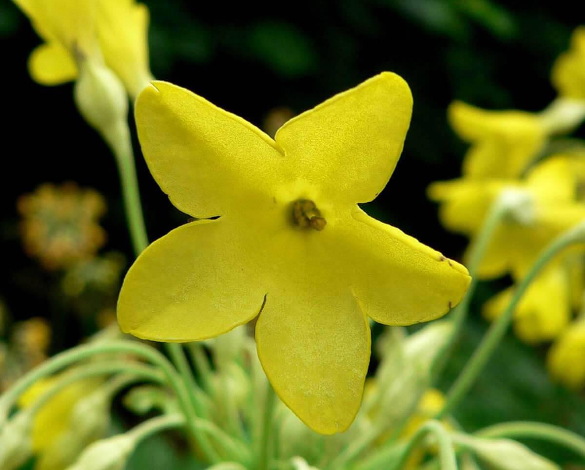 Primula florindae bloem