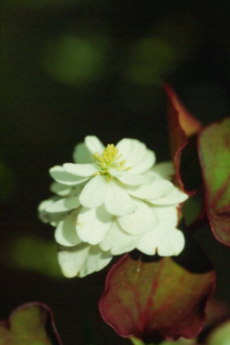 Houttuynia cordata Flore Plena